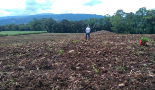 Costa Rican field planted with trees